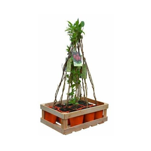 Clematis źródło dobrych pnączy Plantacja mini kiwi - zestaw 10 roślin clematis