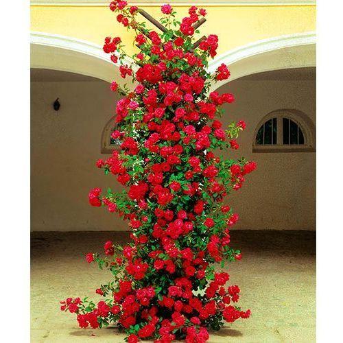 Starkl Róża pnąca 'gruss an heidelberg®' 1 szt