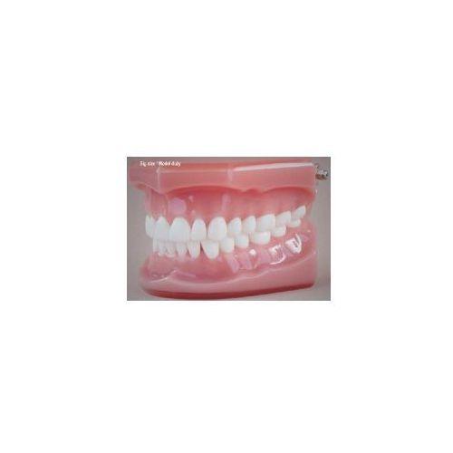 Falcon Model stomatologiczny zgryz idealny, baz różowa, duża