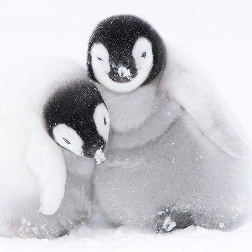 Museums & galleries Karnet kwadrat z kopertą a pair of emperor penguin (5015278361291)
