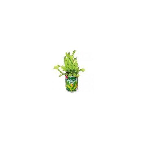 Muchołówka - żarłoczna roślina - Dobra cena!