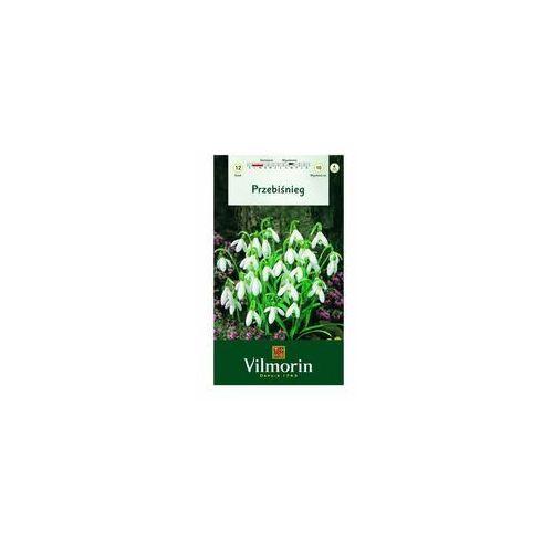 Śnieżyczka przebiśnieg 12 szt. cebulki kwiatów VILMORIN (5905810136169)