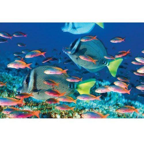 Gf Rybki pokolec białobrody rafa koralowa - plakat