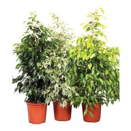 Ficus Beniamina D27