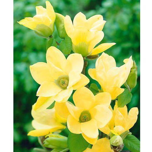 Magnolia żółta 1 szt