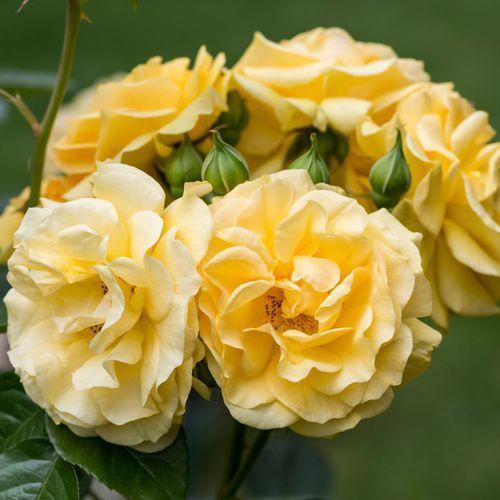 Verve Róża balot 10 mix (3663602720058). Najniższe ceny, najlepsze promocje w sklepach, opinie.