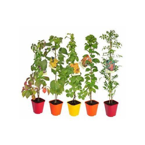 Clematis źródło dobrych pnączy Pnącza znoszące suszę - zestaw 10 roślin clematis (5907760166586)
