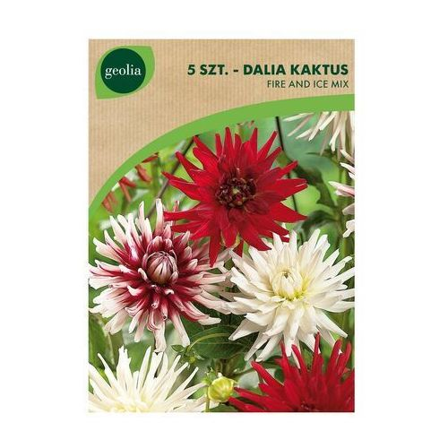 Geolia Dalia kaktus fire and ice mix 5 szt. cebulki kwiatów