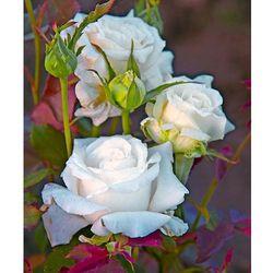 Starkl Róża 'papież jan paweł ii®' 1 szt