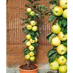 Jabłoń kolumnowa ´bolero®´ 1 szt marki Starkl