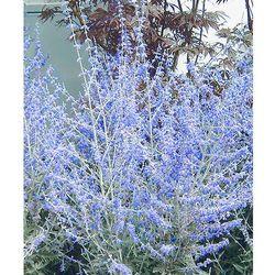 Perovskia 'blue spire' 1 szt marki Starkl