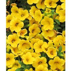 Starkl Calibrachoa 'banana' - żółta 3 szt