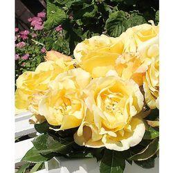 Starkl Róża wielkokwiatowa 'glorius' 1 szt