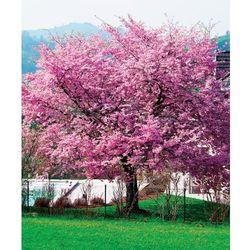 Czereśnia - Sakura 1 szt