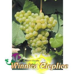 Sadzonka winorośli pinot gris winnica kpl marki Winnica cieplice