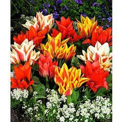 Tulipany wielokwiatowe - mix 10 szt