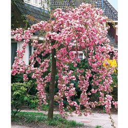 Sakura zwisająca pełnokwiatowa 1 szt marki Starkl