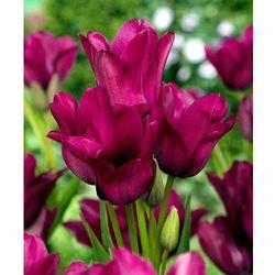 Starkl Tulipany wielokwiatowe 'night club' 5 szt