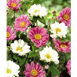 Starkl 1x zawilce różowe + 1x zawilce białe 2 szt