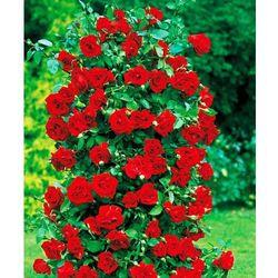 Róża parkowa 'Fontaine®' 1 szt