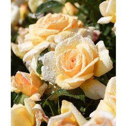Róża rabatowa 'bordüre champagne®' 1 szt marki Starkl
