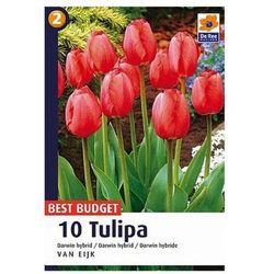Tulipany Van Eijk