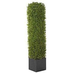 Kolumna bukszpanu, kwadratowa, w drewnianej donicy, wys. 800 mm, dł. x szer. 150 marki Gasper
