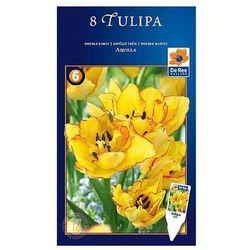 Tulipan Aquilla pełne późne (8711148317050)