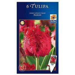 Tulipany Barbados, CJSU113