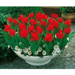 Starkl Tulipany wielokwiatowe ´tulipa praestans´ 25 szt