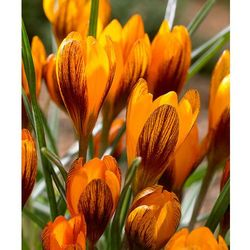 Krokusy wielkokwiatowe 'orange monarch' 10 szt marki Starkl