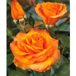 Róża wielkokwiatowa ´remy martin®´ 1 szt marki Starkl