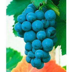 Winorośl ´hamburski muszkat´ 1 szt marki Starkl