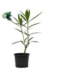 Oleander sadzonka