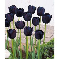 Tulipany ´queen of night´ 10 szt marki Starkl