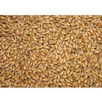 Jęczmień BIO / trawa jęczmienna na sok (Waga:: 5 kg)