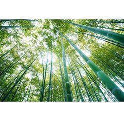 Consalnet Fototapeta bambusowy las 150