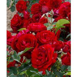 Starkl Róża ´anna rosita´ 1 szt