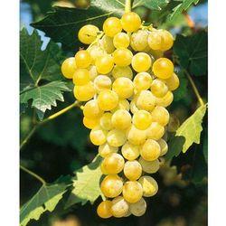 Winorośl ´Żółty muszkat´ 1 szt