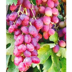 Winorośl ´ametyst´ 1 szt marki Starkl