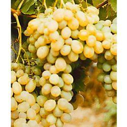 ´Afuz Ali´ - daktylowe winogrono 1 szt