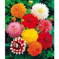 Dalie o olbrzymich kwiatach - mieszanka 5 szt
