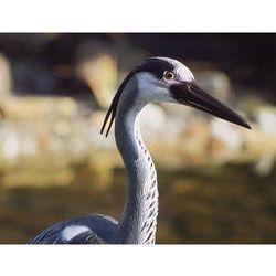 Pontec czapla ozdobna Heron (4010052368689)