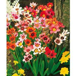 Kwiaty cygańskie 25 szt