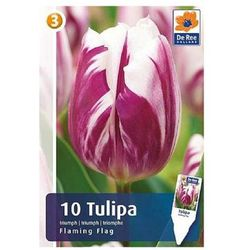 Tulipany Flaming Flag, CJM423