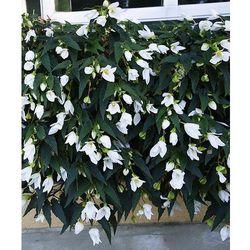 Starkl Begonia zwisająca 'shine bright' 1 szt
