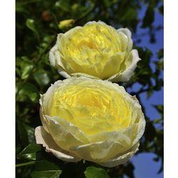 Róża 'amnesty international' 1 szt marki Starkl