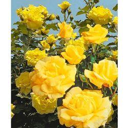 Róża pnąca 'Dune®' 1 szt