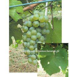Rebschule walek Riesling reński sadzonka winorośli