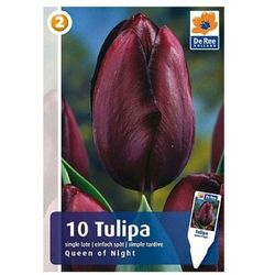 Tulipan Queen of Night, CJM175